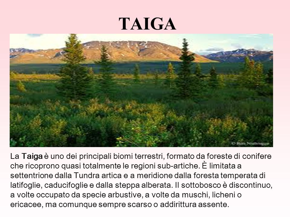 TAIGA La Taiga è uno dei principali biomi terrestri, formato da foreste di conifere che ricoprono quasi totalmente le regioni sub-artiche.