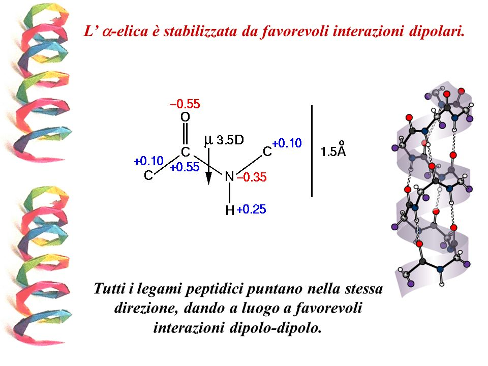 L -elica è stabilizzata da favorevoli interazioni dipolari. Tutti i legami peptidici puntano nella stessa direzione, dando a luogo a favorevoli intera