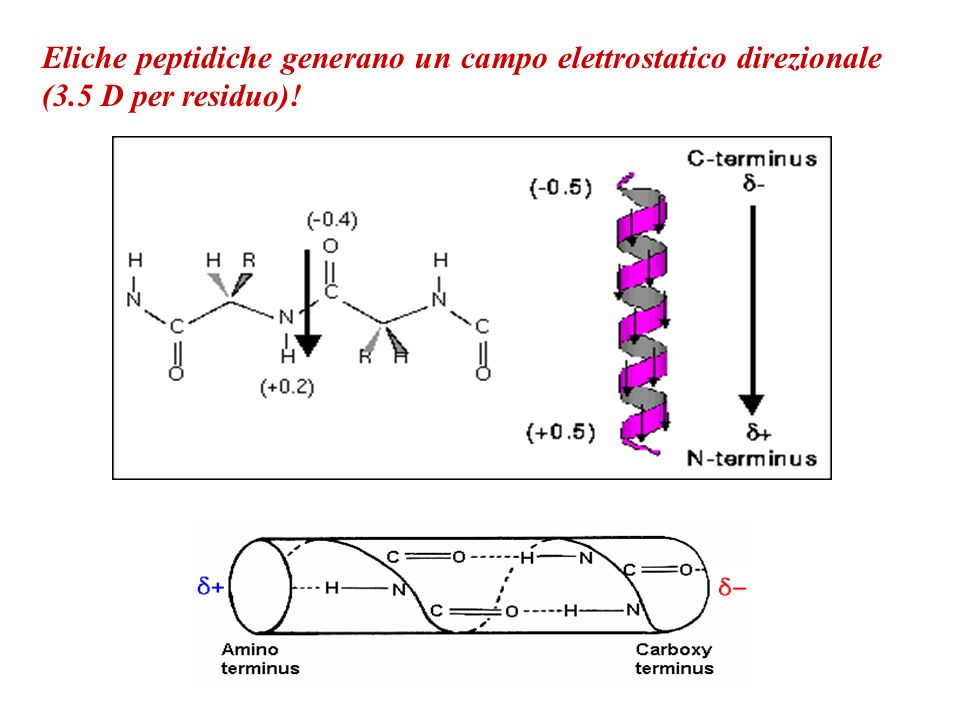 Eliche peptidiche generano un campo elettrostatico direzionale (3.5 D per residuo)!