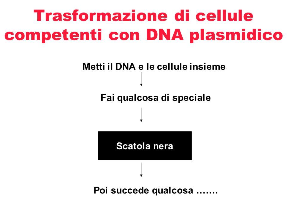 Trasformazione batterica Uptake of DNA nudo, spesso un plasmide circolare GFP Beta lactamase (ampicillin resistance) pGLO plasmids Bacterial chromosomal DNA Cell wall