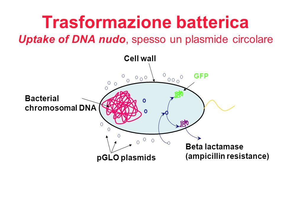 Trasformazione batterica Uptake of DNA nudo, spesso un plasmide circolare GFP Beta lactamase (ampicillin resistance) pGLO plasmids Bacterial chromosom