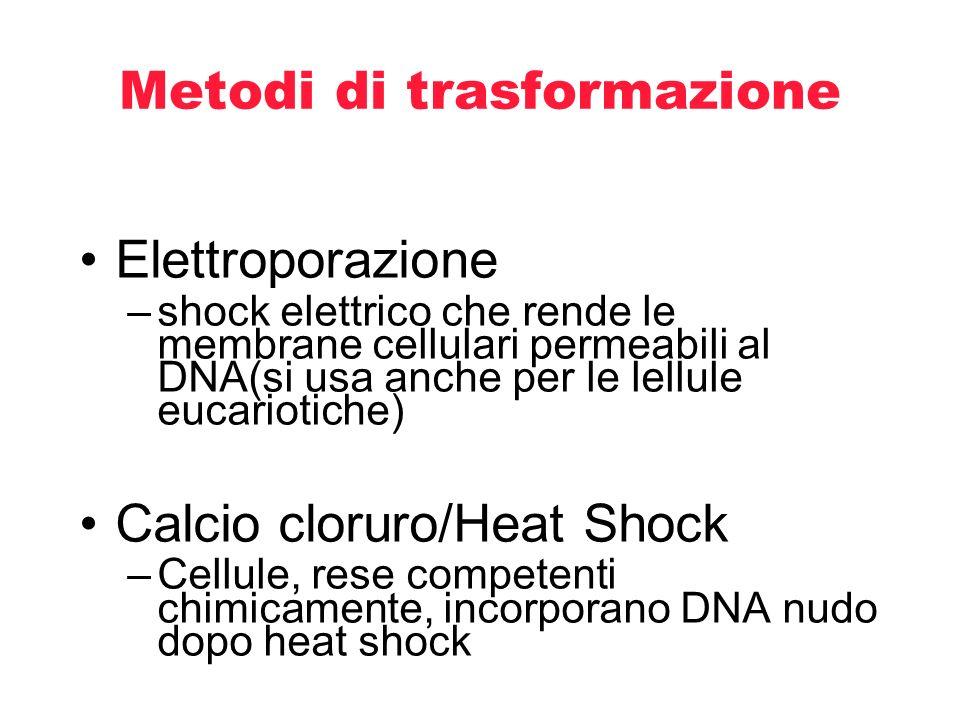 Metodi di trasformazione Elettroporazione –shock elettrico che rende le membrane cellulari permeabili al DNA(si usa anche per le lellule eucariotiche)