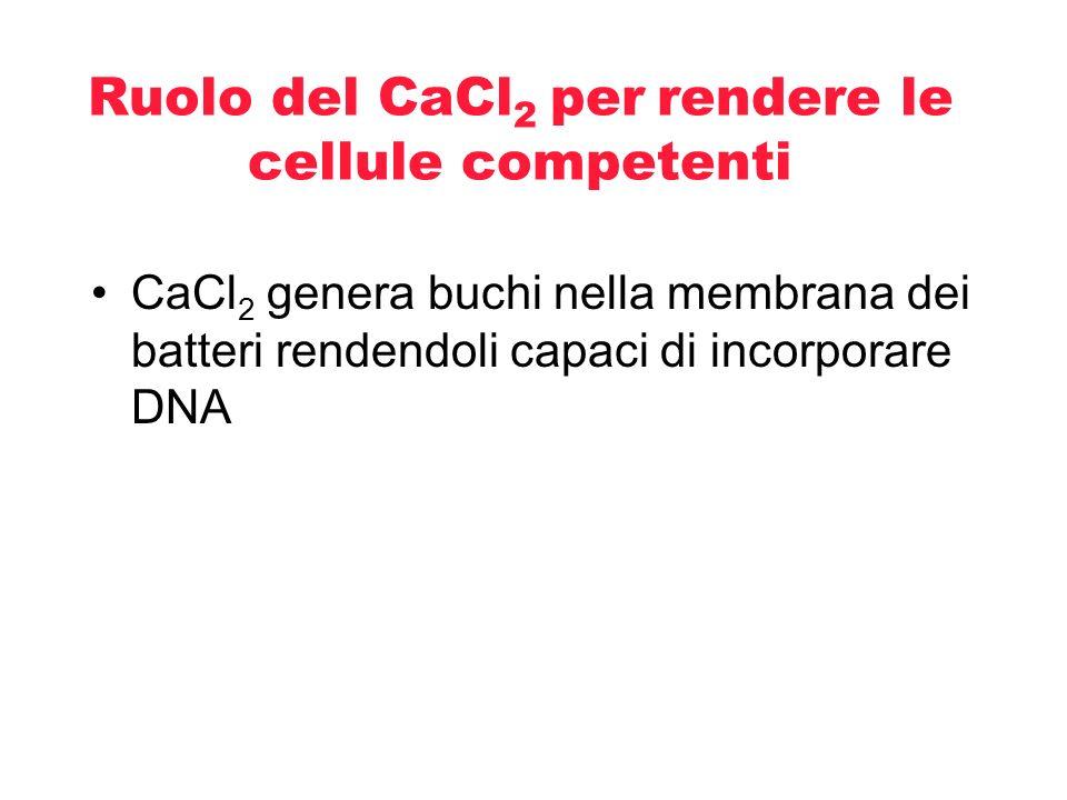 Ruolo del CaCl 2 per rendere le cellule competenti- cont Gli ioni of Ca +2 carichi positivamente mascherano le cariche negative dei gruppi fosfato presenti nel DNA Ca ++ O CH 2 O P O O O Base CH 2 O P O O O Base OH Sugar O Ca ++