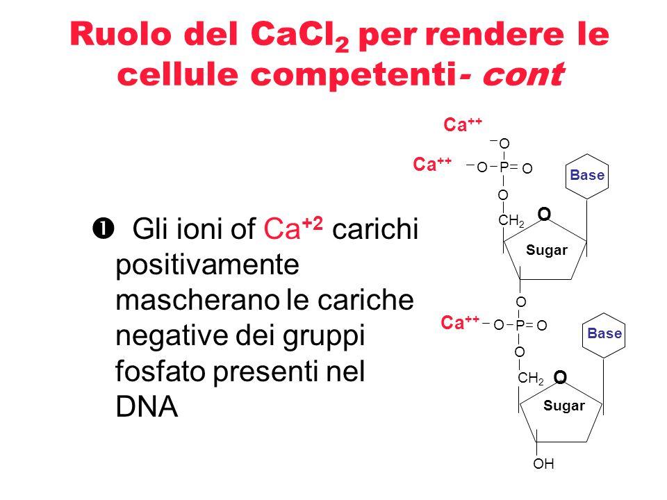 Attenzione!!!! CaCl 2 rende le cellule più fragili Delicatezza (ghiaccio e pipettata gentile)