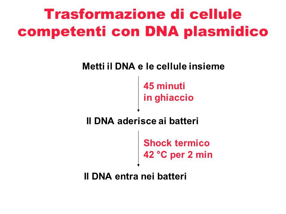 Trasformazione di cellule competenti con DNA plasmidico - cont Periodo di recupero a 37 °C in presenza di terreno che permette la replicazione del DNA plasmidico nelle cellule in cui è entrato 1 ora a 37 °C Questo periodo permette alle cellule di esprimere il gene di resistenza all antibiotico (ampicillina) e di potere replicare successivamente sulle piastre