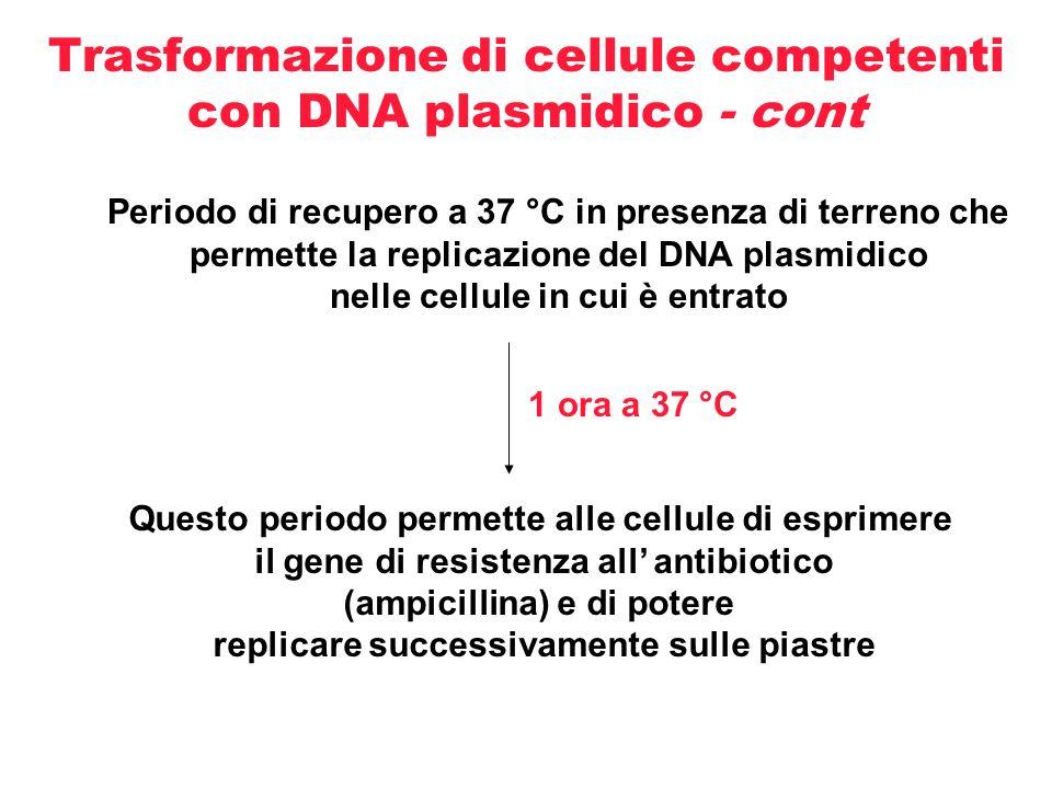 Trasformazione di cellule competenti con DNA plasmidico - cont Periodo di recupero a 37 °C in presenza di terreno che permette la replicazione del DNA