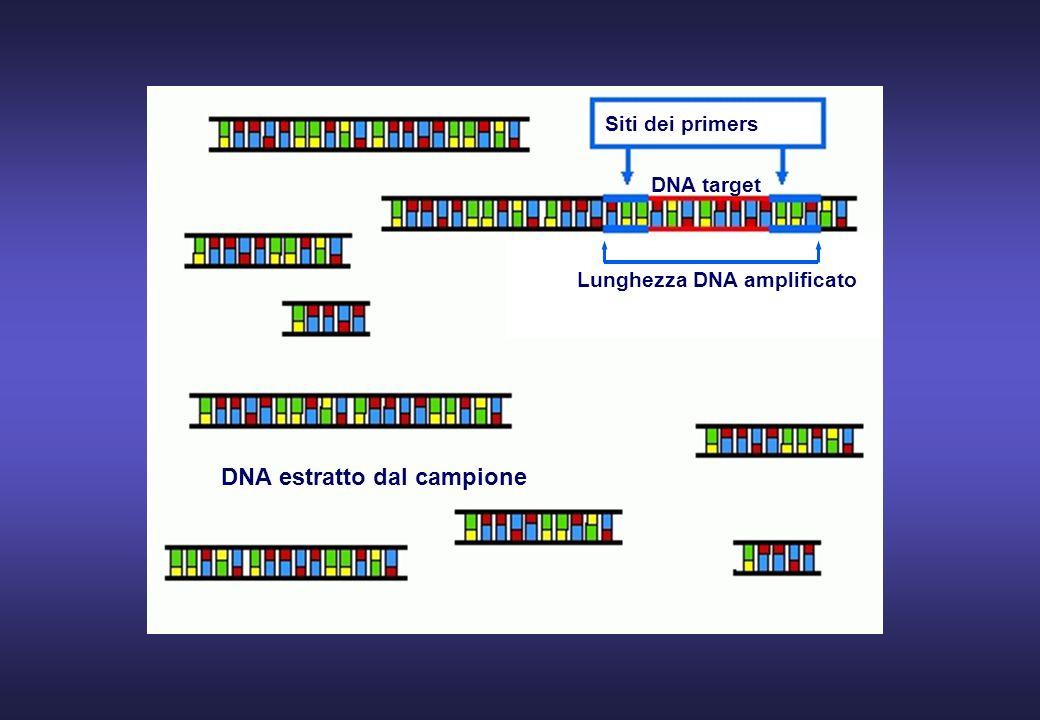 Siti dei primers DNA estratto dal campione DNA target Lunghezza DNA amplificato