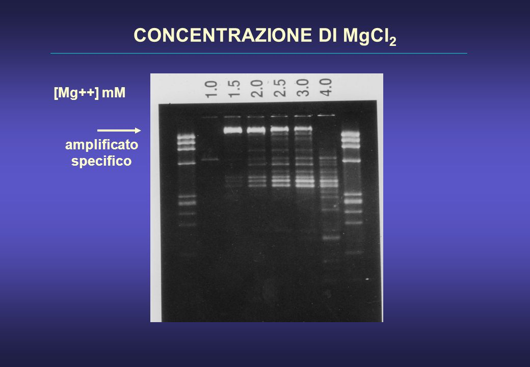 [Mg++] mM CONCENTRAZIONE DI MgCl 2 amplificato specifico