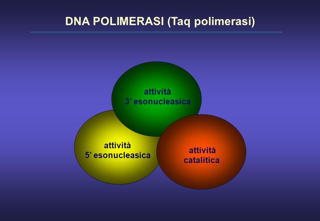attività 3 esonucleasica attività catalitica attività 5 esonucleasica DNA POLIMERASI (Taq polimerasi)