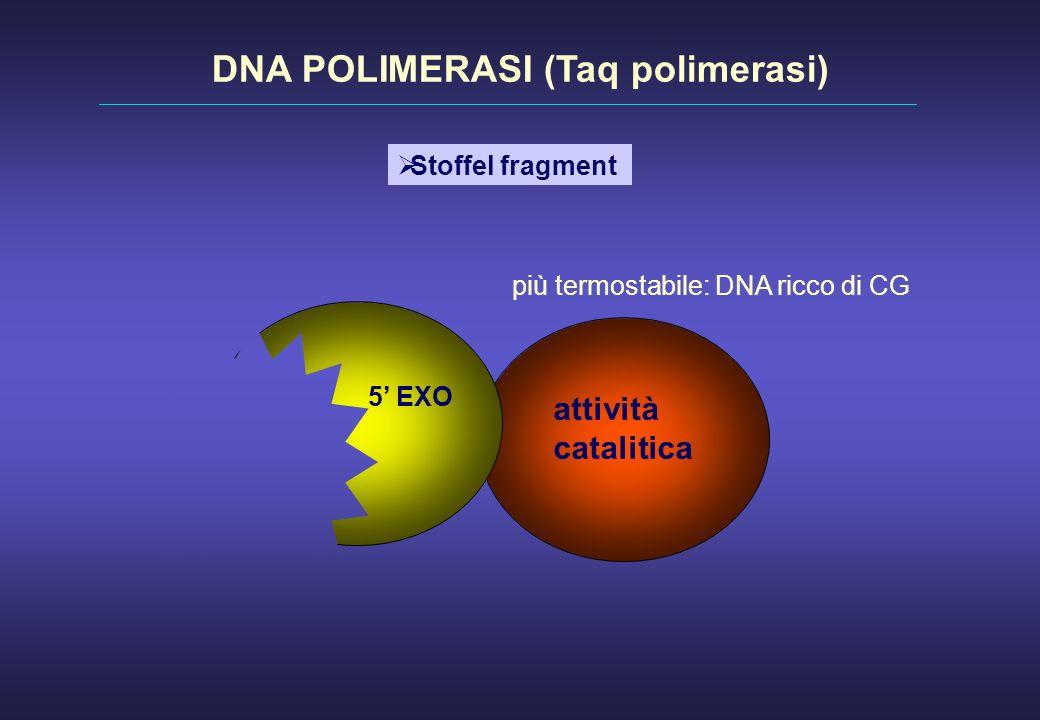 attività catalitica 5 EXO DNA POLIMERASI (Taq polimerasi) Stoffel fragment più termostabile: DNA ricco di CG