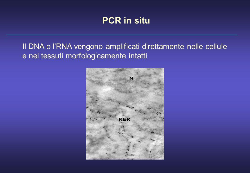 PCR in situ Il DNA o lRNA vengono amplificati direttamente nelle cellule e nei tessuti morfologicamente intatti