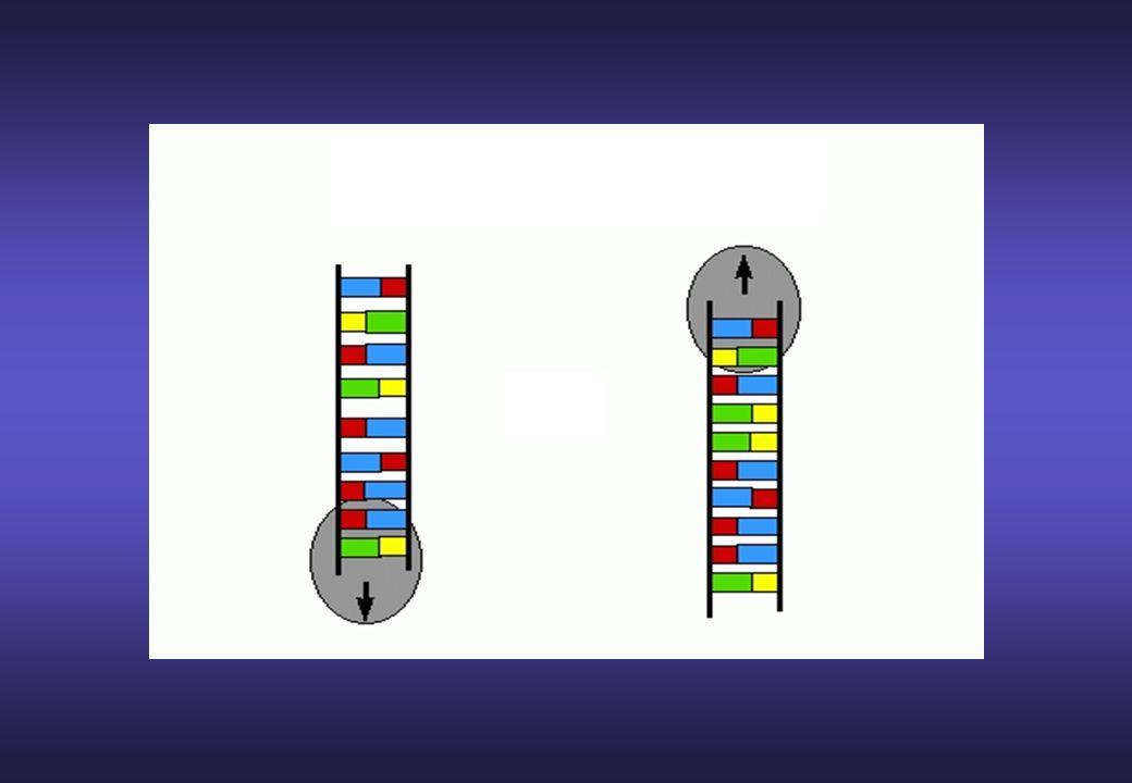Evitare sequenze inusuali come serie di purine o pirimidine Evitare sequenze palindromiche che provocano strutture secondarie (loop).