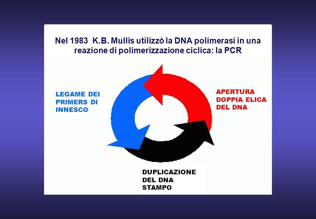 APERTURA DOPPIA ELICA DEL DNA LEGAME DEI PRIMERS DI INNESCO DUPLICAZIONE DEL DNA STAMPO Nel 1983 K.B. Mullis utilizzò la DNA polimerasi in una reazion