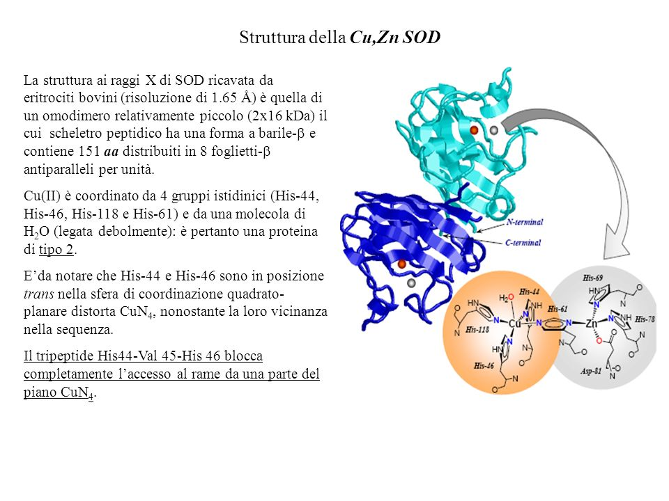 Struttura della Cu,Zn SOD La struttura ai raggi X di SOD ricavata da eritrociti bovini (risoluzione di 1.65 Å) è quella di un omodimero relativamente