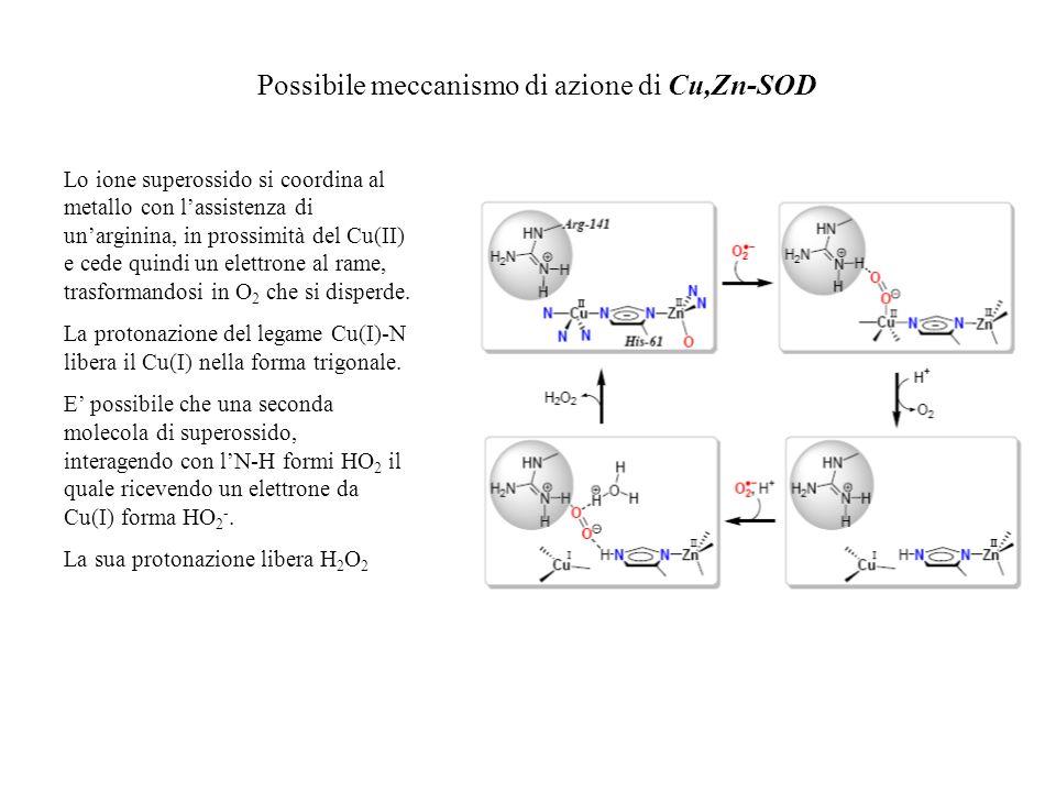 Possibile meccanismo di azione di Cu,Zn-SOD Lo ione superossido si coordina al metallo con lassistenza di unarginina, in prossimità del Cu(II) e cede