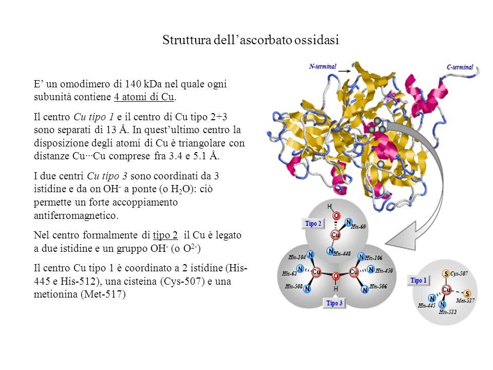 Struttura dellascorbato ossidasi E un omodimero di 140 kDa nel quale ogni subunità contiene 4 atomi di Cu. Il centro Cu tipo 1 e il centro di Cu tipo