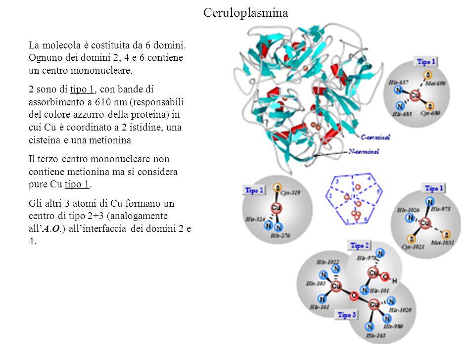 Ceruloplasmina La molecola è costituita da 6 domini. Ognuno dei domini 2, 4 e 6 contiene un centro mononucleare. 2 sono di tipo 1, con bande di assorb