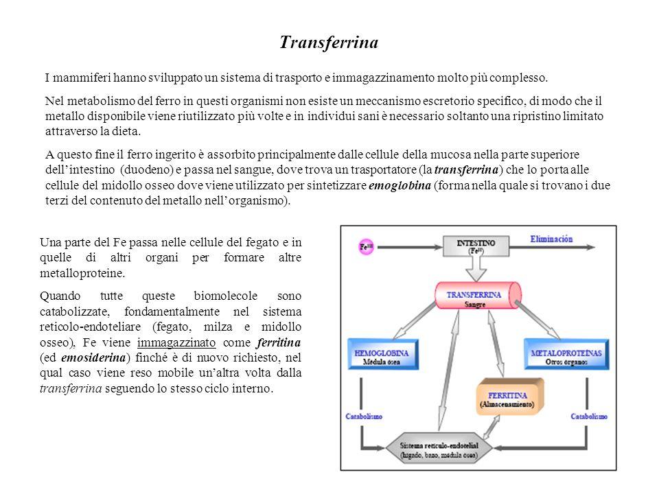 Transferrina I mammiferi hanno sviluppato un sistema di trasporto e immagazzinamento molto più complesso. Nel metabolismo del ferro in questi organism