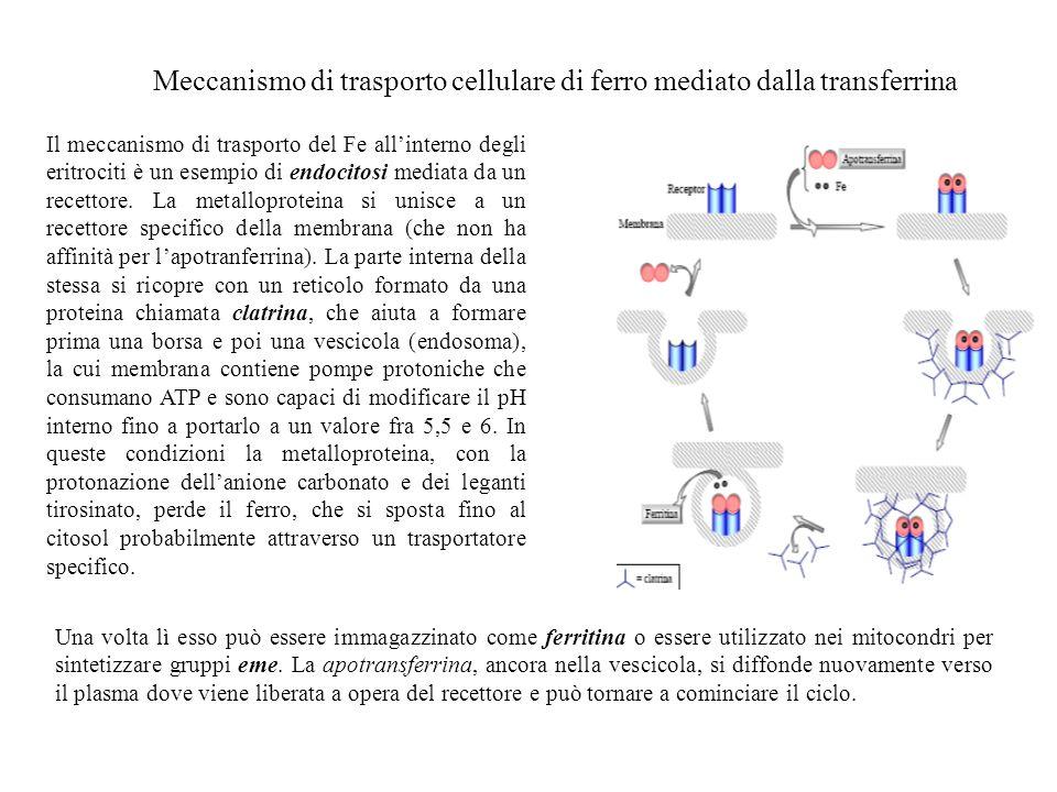 Meccanismo di trasporto cellulare di ferro mediato dalla transferrina Il meccanismo di trasporto del Fe allinterno degli eritrociti è un esempio di en