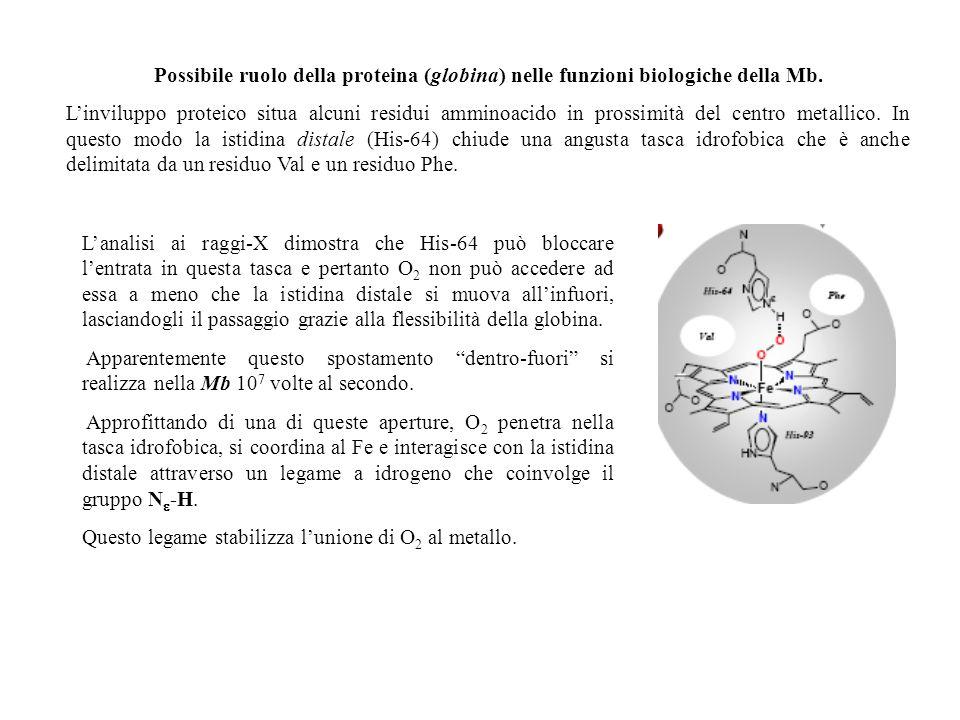 Possibile ruolo della proteina (globina) nelle funzioni biologiche della Mb. Linviluppo proteico situa alcuni residui amminoacido in prossimità del ce