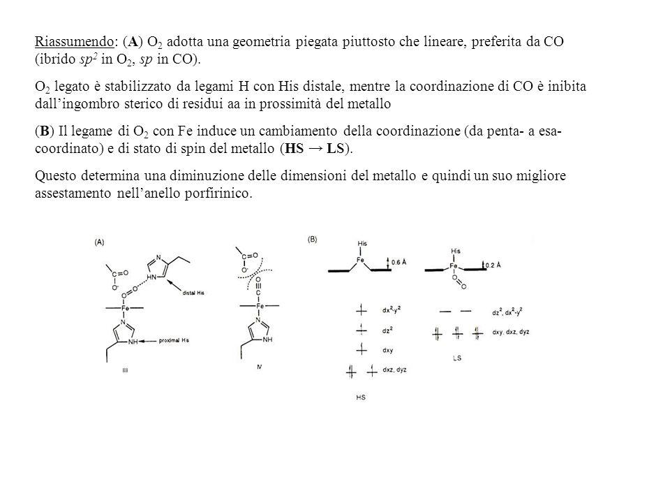 Riassumendo: (A) O 2 adotta una geometria piegata piuttosto che lineare, preferita da CO (ibrido sp 2 in O 2, sp in CO). O 2 legato è stabilizzato da