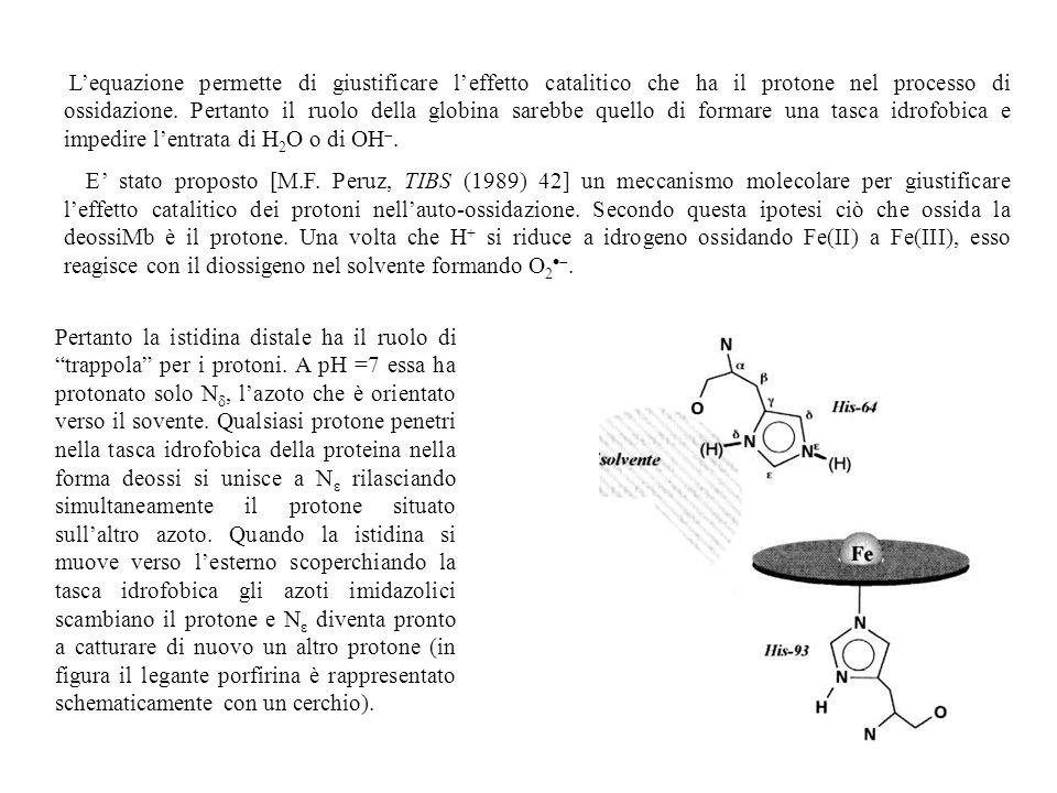 Lequazione permette di giustificare leffetto catalitico che ha il protone nel processo di ossidazione. Pertanto il ruolo della globina sarebbe quello
