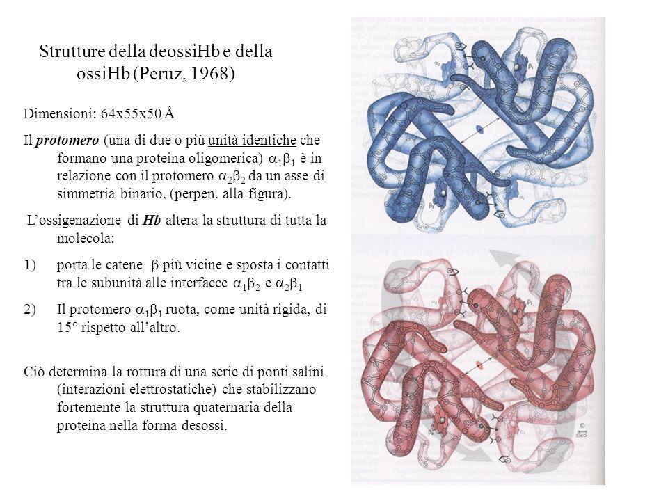 Strutture della deossiHb e della ossiHb (Peruz, 1968) Dimensioni: 64x55x50 Å Il protomero (una di due o più unità identiche che formano una proteina o