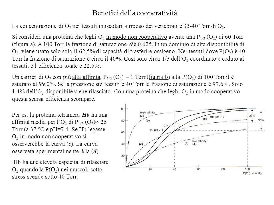 Benefici della cooperatività La concentrazione di O 2 nei tessuti muscolari a riposo dei vertebrati è 35-40 Torr di O 2. Si consideri una proteina che