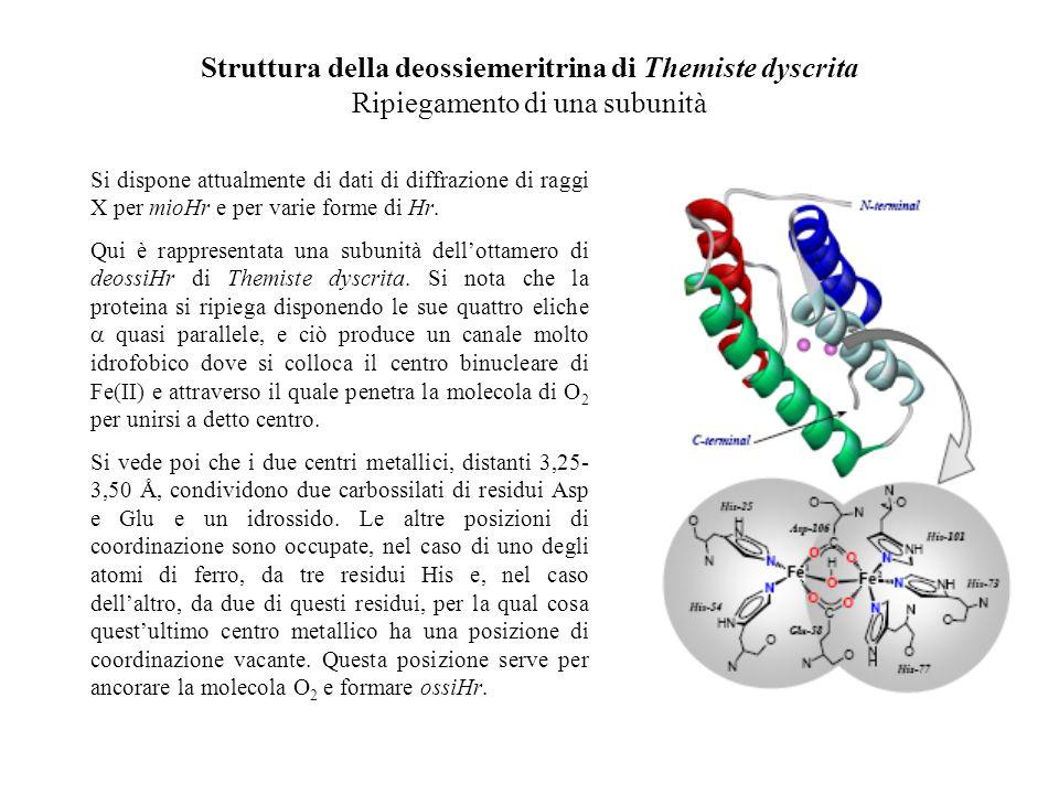 Struttura della deossiemeritrina di Themiste dyscrita Ripiegamento di una subunità Si dispone attualmente di dati di diffrazione di raggi X per mioHr