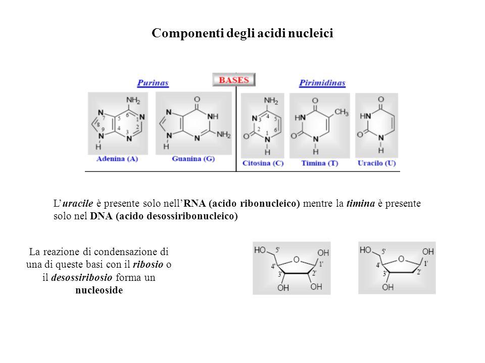 Componenti degli acidi nucleici Luracile è presente solo nellRNA (acido ribonucleico) mentre la timina è presente solo nel DNA (acido desossiribonucle
