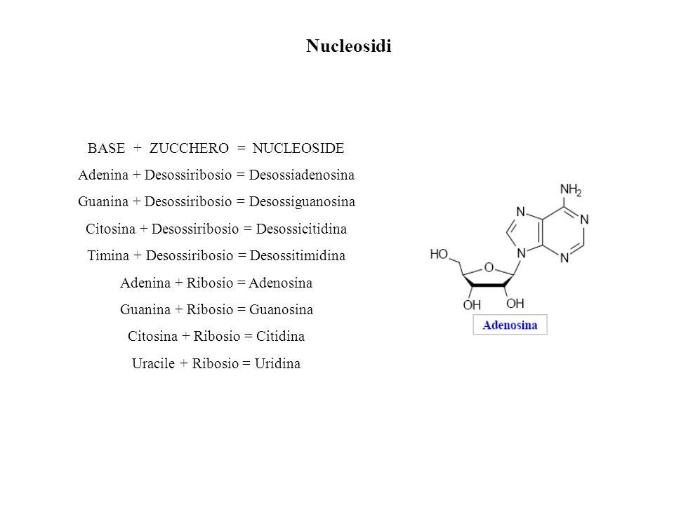 Nucleosidi BASE + ZUCCHERO = NUCLEOSIDE Adenina + Desossiribosio = Desossiadenosina Guanina + Desossiribosio = Desossiguanosina Citosina + Desossiribo
