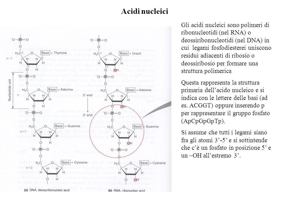 Acidi nucleici Gli acidi nucleici sono polimeri di ribonucleotidi (nel RNA) o deossiribonucleotidi (nel DNA) in cui legami fosfodiesterei uniscono res