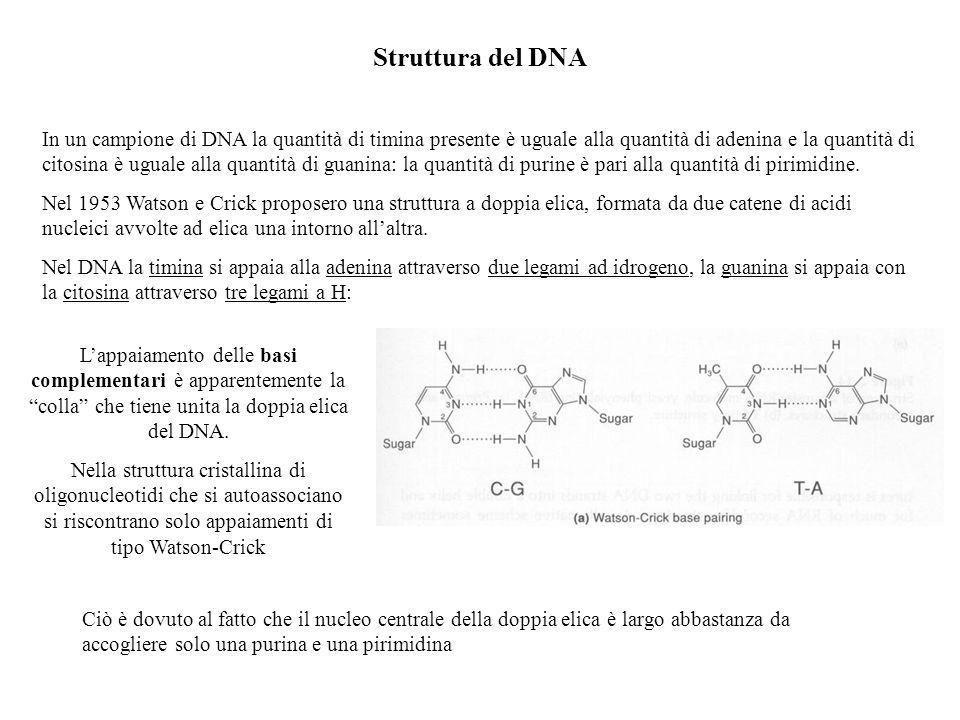Struttura del DNA In un campione di DNA la quantità di timina presente è uguale alla quantità di adenina e la quantità di citosina è uguale alla quant