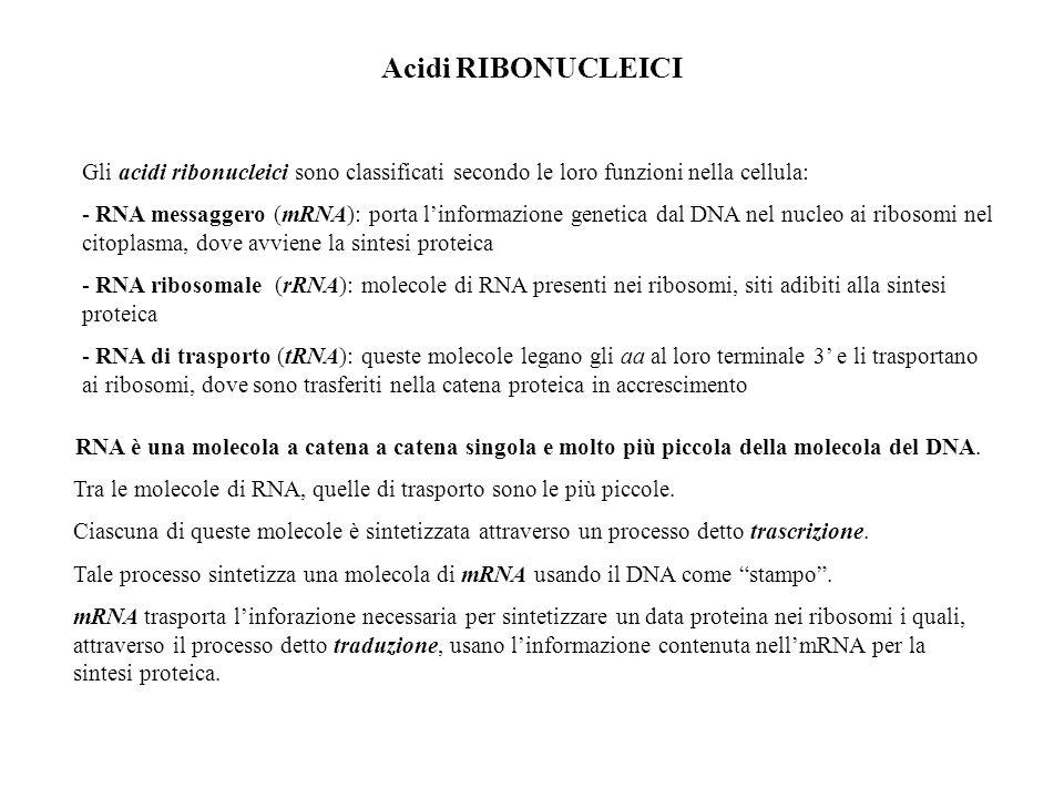 Acidi RIBONUCLEICI Gli acidi ribonucleici sono classificati secondo le loro funzioni nella cellula: - RNA messaggero (mRNA): porta linformazione genet