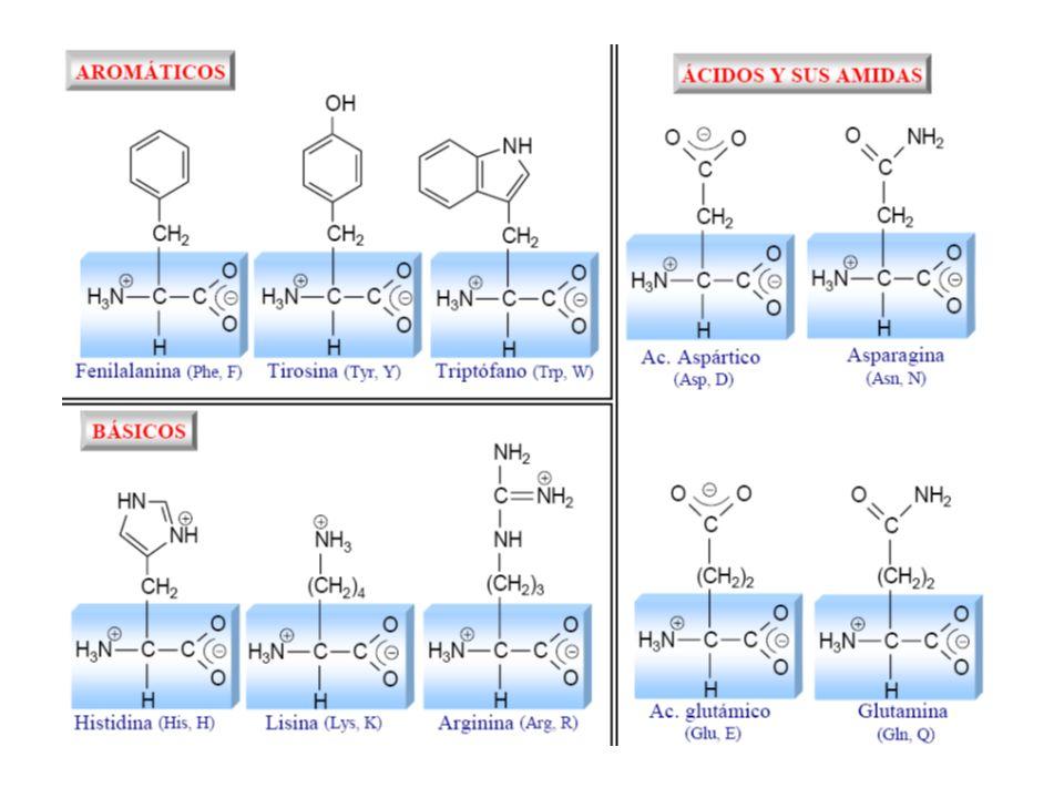 Amminoacidi come leganti aa che usualmente funzionano come leganti hanno catene laterali contenenti gruppi tiolici (cisteina), imidazolici (istidina), carbossilici ( acidi glutammico e aspartico) e gruppi fenolici (tirosina) Possono funzionare da leganti monodentati, ma frequentemenente agiscono da leganti bidentati