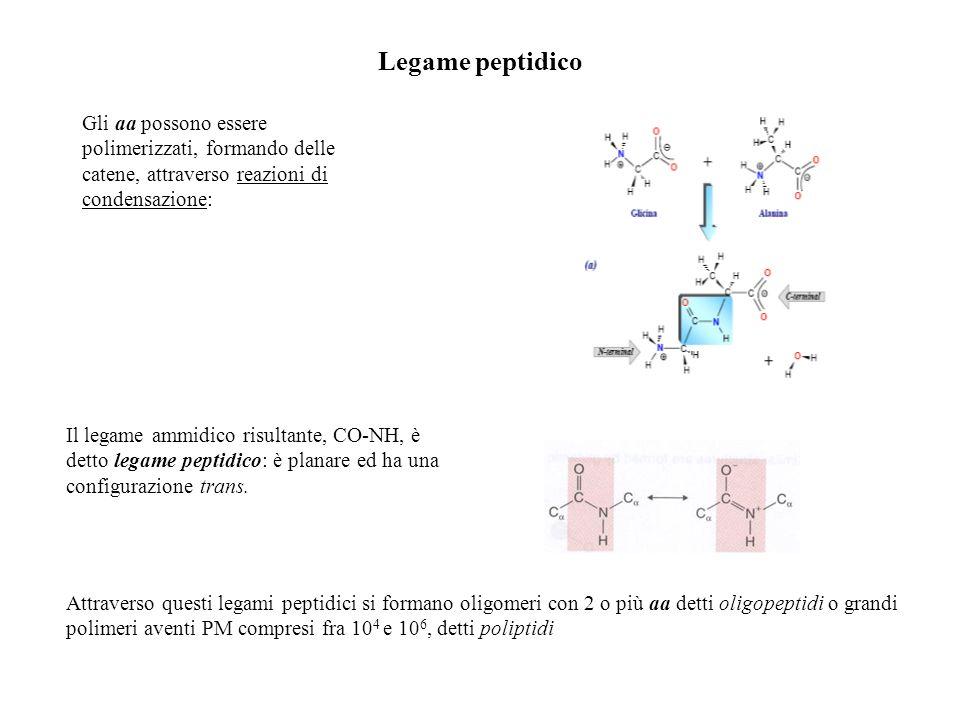 Le proteine (proteios: di primaria importanza) Le proteine contengono almeno 40 aa: i polipeptidi più piccoli di questa dimensione sono detti peptidi Una dimensione di 40 residui sembra essere quella minima perché una catena polipeptidica possa ripiegarsi in una forma stabile e specifica che consenta lespletazione di una certa funzione La grande maggioranza dei polipeptidi contiene tra 100 e 1000 residui: nel corpo umano esistono oltre 100.000 proteine diverse.