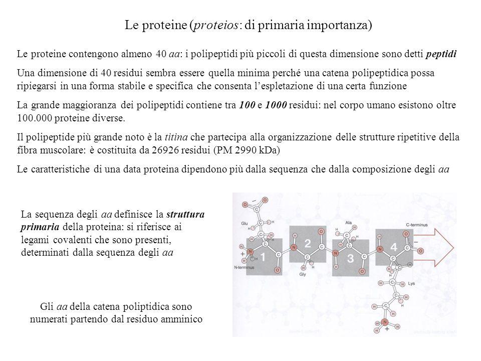 Le proteine (proteios: di primaria importanza) Le proteine contengono almeno 40 aa: i polipeptidi più piccoli di questa dimensione sono detti peptidi
