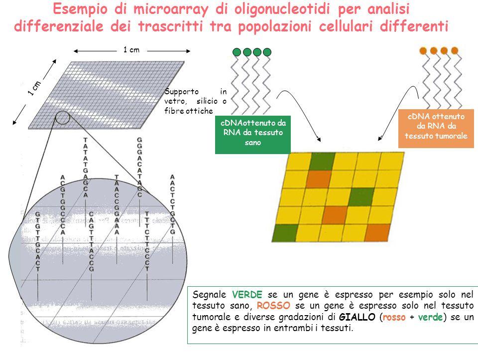 1 cm Supporto in vetro, silicio o fibre ottiche Esempio di microarray di oligonucleotidi per analisi differenziale dei trascritti tra popolazioni cell