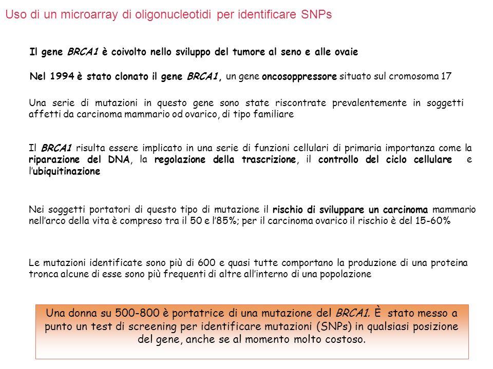 Analisi per ASO multipla su larga scala per identificare SNPs nel gene BRCA 1 La regione BRCA 1 codificante è lunga 5500 bp.