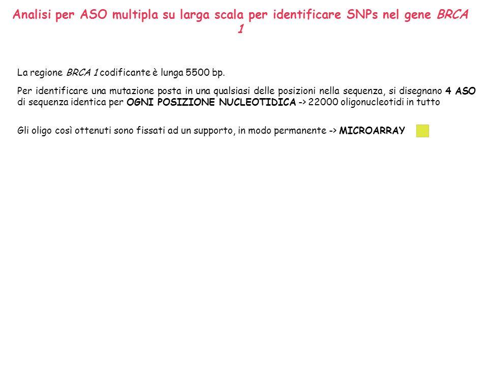 Analisi per ASO multipla su larga scala per identificare SNPs nel gene BRCA 1 Le sonde (gli oligonucleotidi) sono attaccate al supporto e costituiscono il microarray ed è il DNA da saggiare ad essere marcato.
