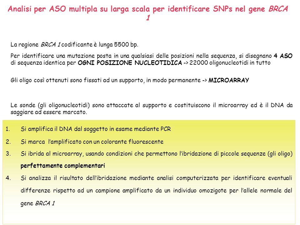 Confronto di due microarray tra la posizione 2420 e 2440 del gene BRCA 1 con DNA da individui con genotipo che differisce per un singolo nucleotide in posizione 2431 T G C A C A G T A T T T C A T T G G T A C C T G G 2420 2440 Individuo OMOZIGOTE per lallele normale di BRCA 1 Il DNA AMPLIFICATO e MARCATO ottenuto, può essere complementare con tutte le sue basi SOLO ad un ASO presente in ogni colonna del microarray.