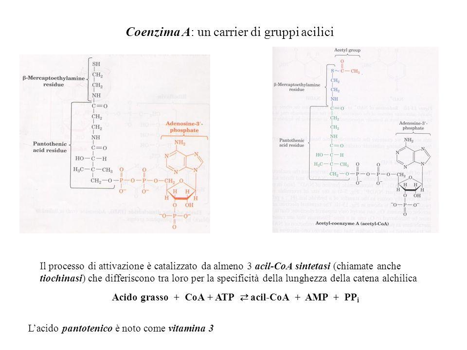 Coenzima A: un carrier di gruppi acilici Il processo di attivazione è catalizzato da almeno 3 acil-CoA sintetasi (chiamate anche tiochinasi) che diffe