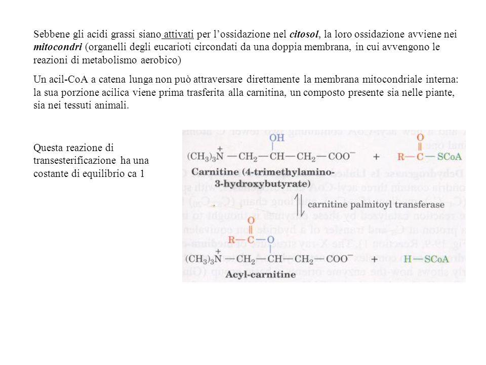 Sebbene gli acidi grassi siano attivati per lossidazione nel citosol, la loro ossidazione avviene nei mitocondri (organelli degli eucarioti circondati