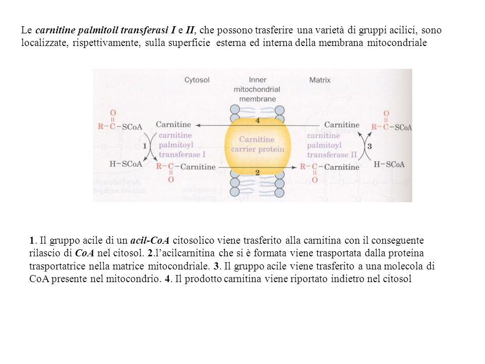 Le carnitine palmitoil transferasi I e II, che possono trasferire una varietà di gruppi acilici, sono localizzate, rispettivamente, sulla superficie e