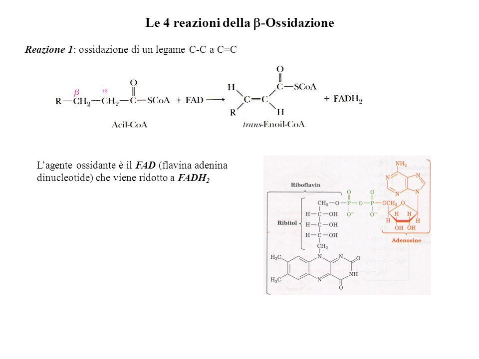 Le 4 reazioni della -Ossidazione Reazione 1: ossidazione di un legame C-C a C=C Lagente ossidante è il FAD (flavina adenina dinucleotide) che viene ri