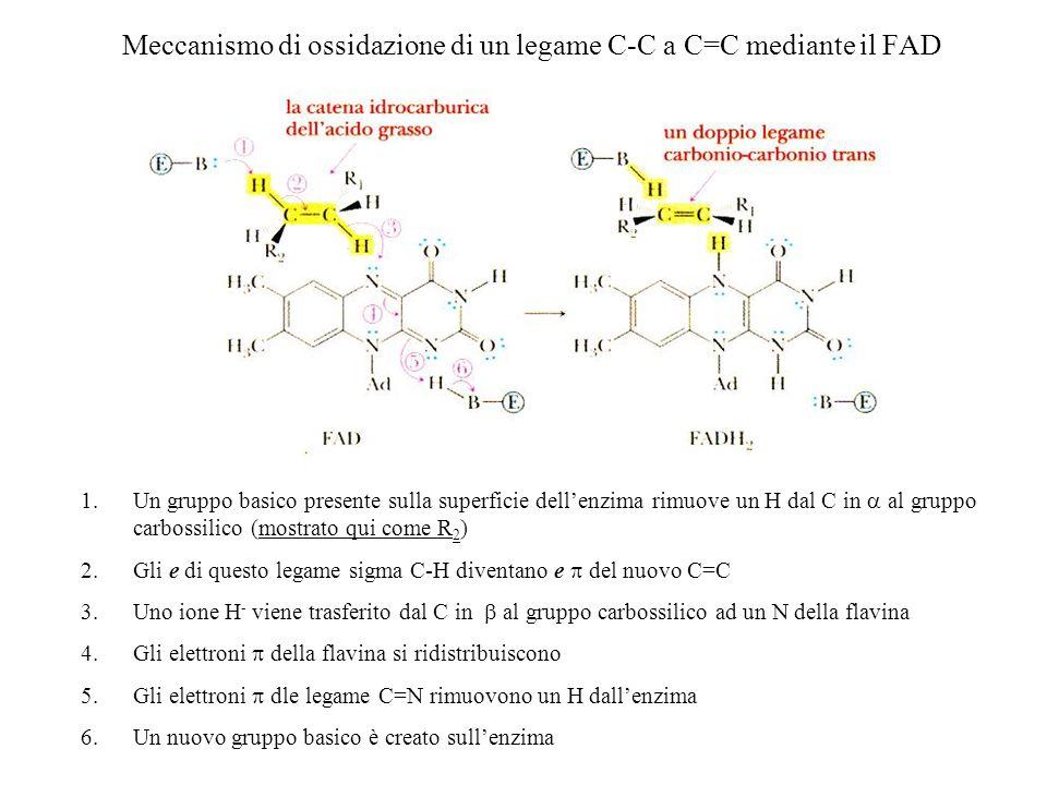 Meccanismo di ossidazione di un legame C-C a C=C mediante il FAD 1.Un gruppo basico presente sulla superficie dellenzima rimuove un H dal C in al grup