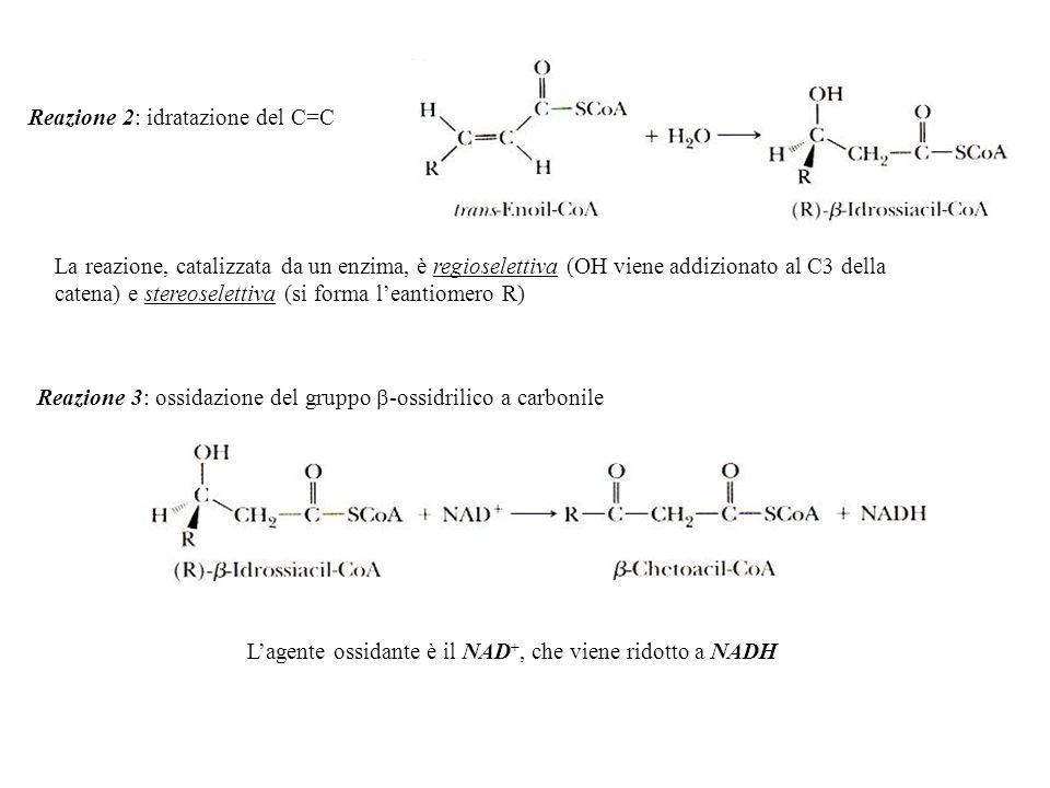 Reazione 2: idratazione del C=C La reazione, catalizzata da un enzima, è regioselettiva (OH viene addizionato al C3 della catena) e stereoselettiva (s