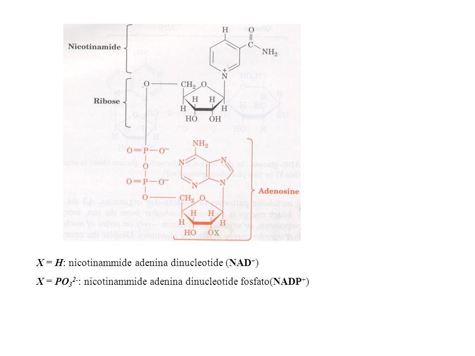 X = H: nicotinammide adenina dinucleotide (NAD + ) X = PO 3 2- : nicotinammide adenina dinucleotide fosfato(NADP + )