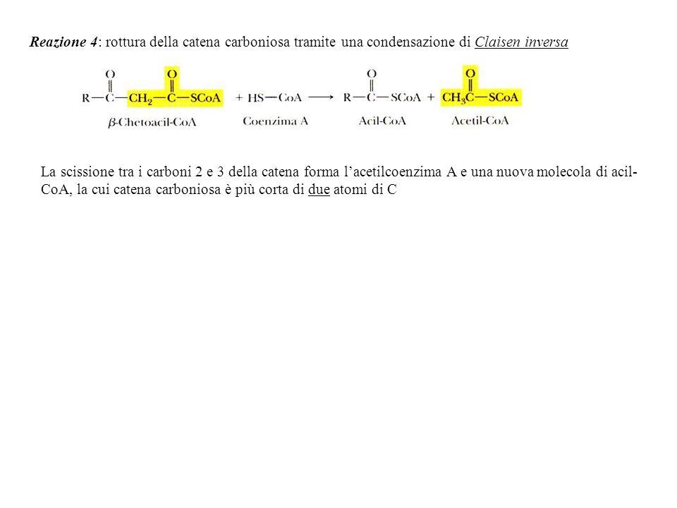 Reazione 4: rottura della catena carboniosa tramite una condensazione di Claisen inversa La scissione tra i carboni 2 e 3 della catena forma lacetilco