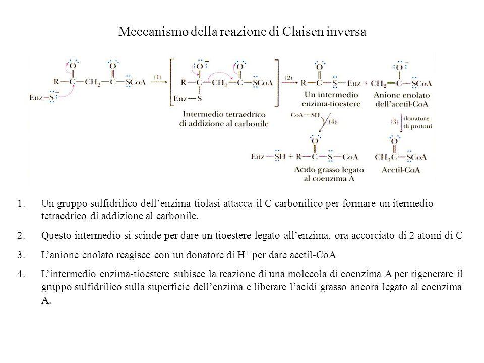 Meccanismo della reazione di Claisen inversa 1.Un gruppo sulfidrilico dellenzima tiolasi attacca il C carbonilico per formare un itermedio tetraedrico